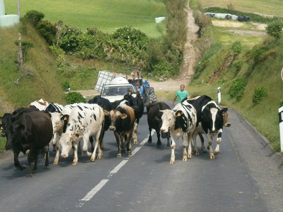 Cows on the Azores.