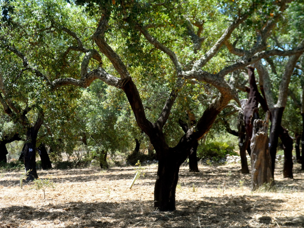 Cork oak in the Algarve.