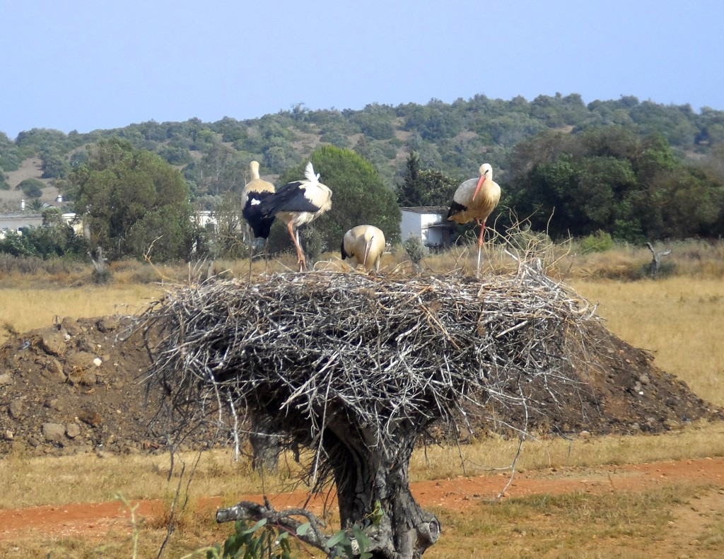 Storks in the Algarve.