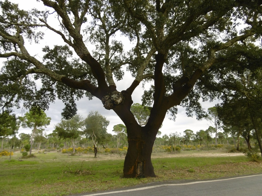 Cork oak in Alentejo.