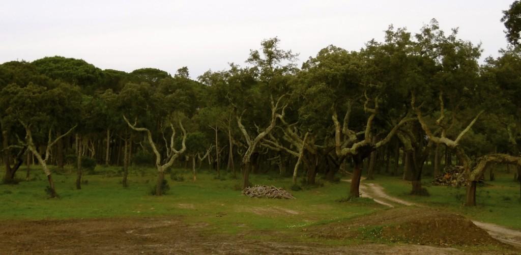 Coak oaks in Alentejo.