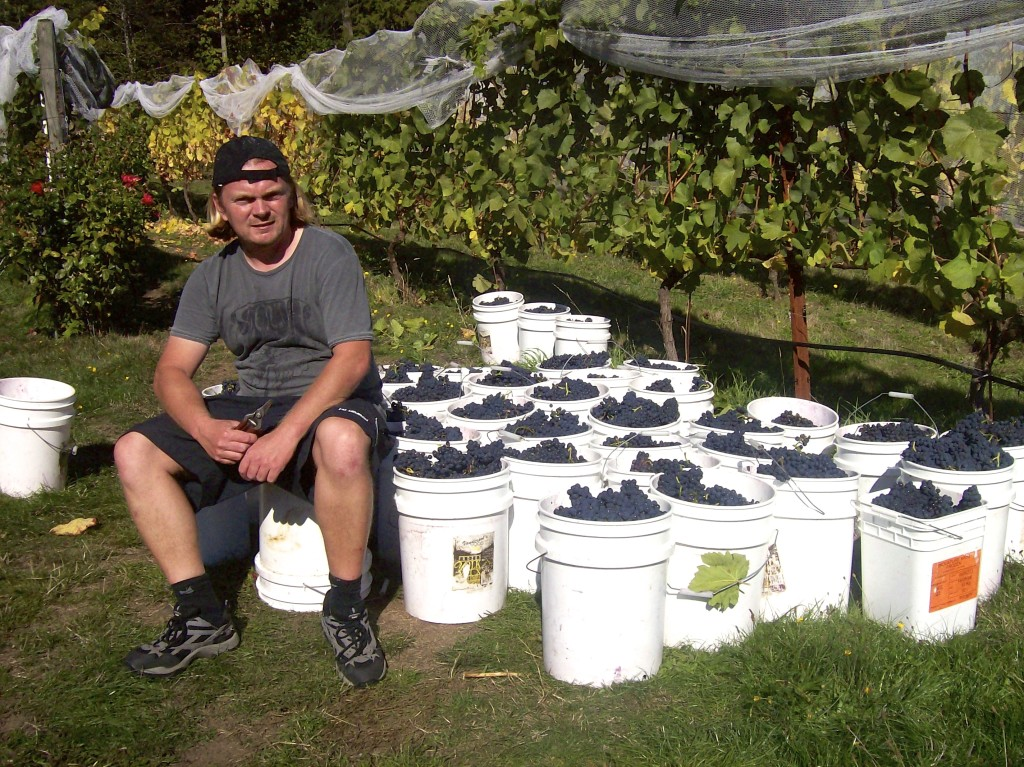 Helping out at the grape harvest on Saltspring Island in Canada.