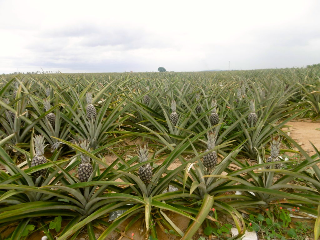 Pineapple fields in Espirito Santo.