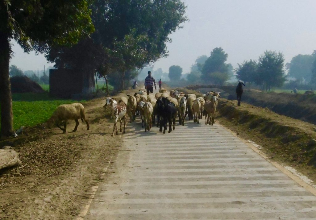 You might also bump in to a few goats on the trail between Agra and Etawah.