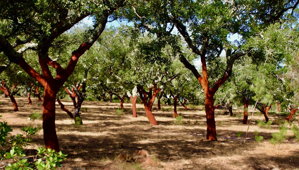 Cork oak trees right by the site.