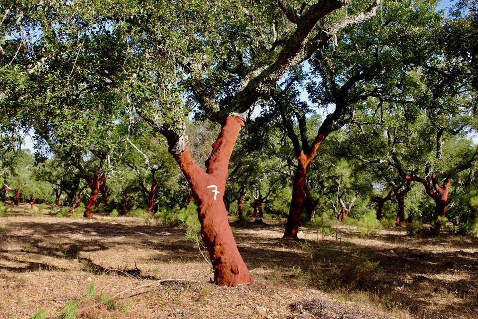 Cork oaks all over the place.