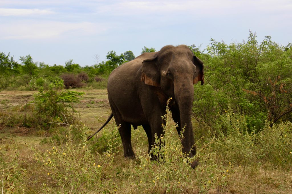 Watching wild elephants in Sri Lanka.