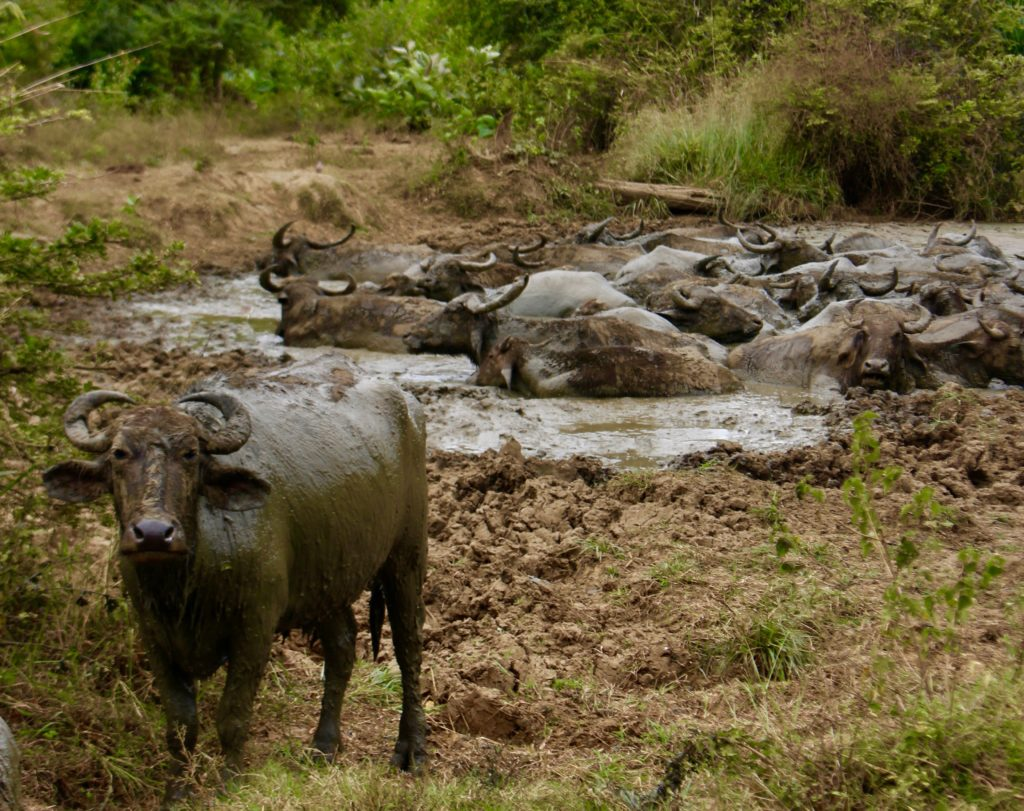 Water buffalos taking a bath.