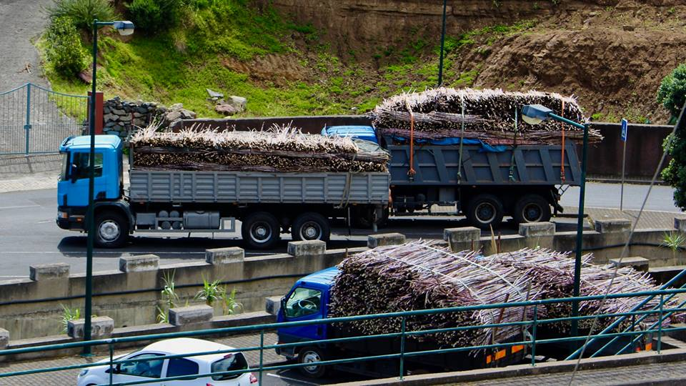 Trucks with sugar cane, arriving to the factory.