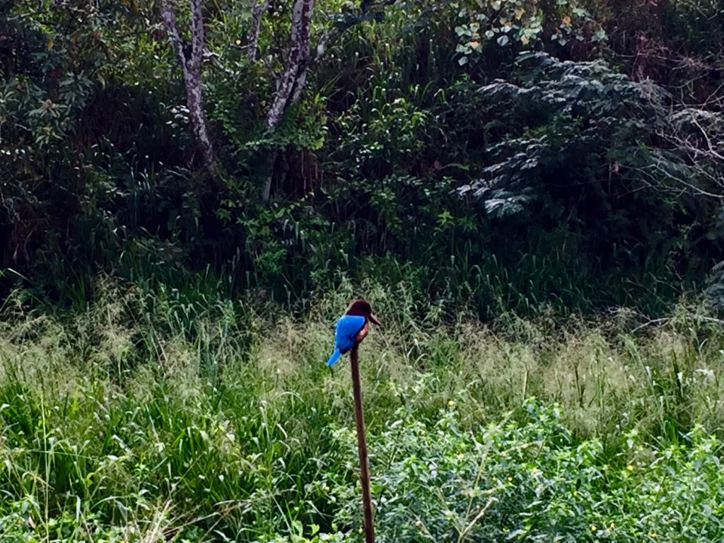 A little kingfisher bird on a stick, next to the trail.